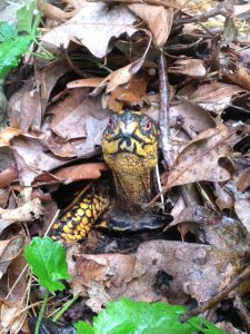 "Box turtles are ""All Boxed In"" when habitat is destroyed 
