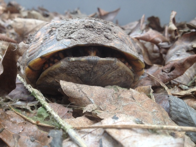 The Eastern Box Turtle's Spring Arrival | Box Turtle Sanctuary of Central Virginia   501(c)3
