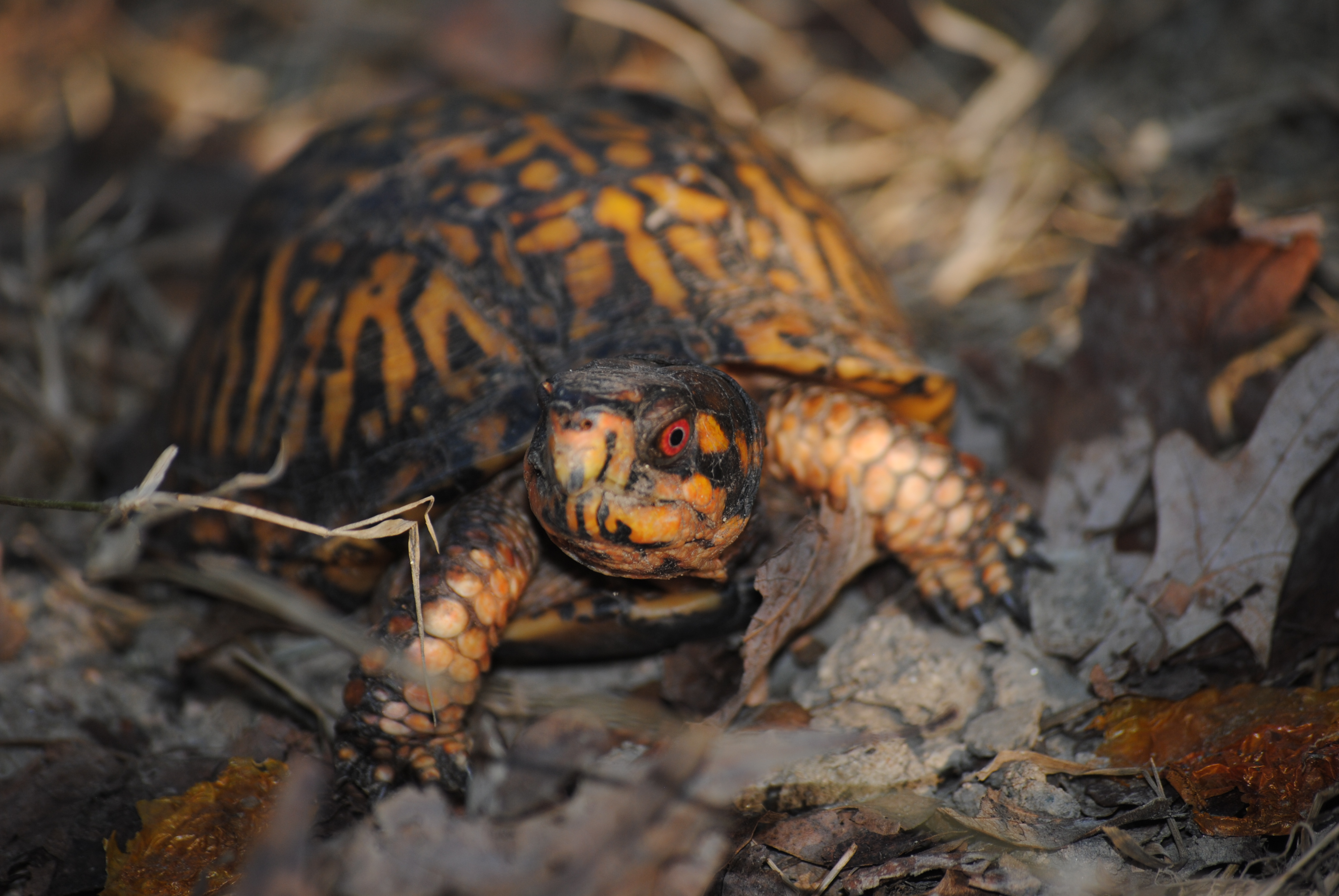 Box Turtle Sanctuary of Central Virginia 501(c)3 | Helping Virginia's Oldest Resident