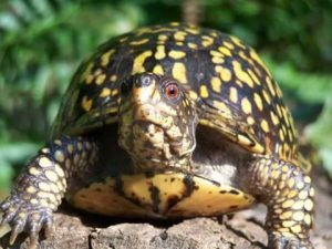 female box turtle