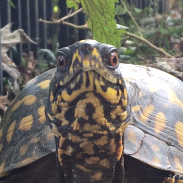 You've Adopted a Box Turtle- Now What? | Box Turtle Sanctuary of Central Virginia 501(c)3