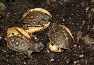 a-hatchling-group-of-box-turtles
