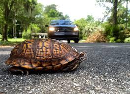 Turtle or Pine-Cone | Box Turtle Sanctuary of Central Virginia   501(c)3